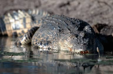 Ten-Year-Old Boy Dies After Crocodile Snatches Him From Boat In Front Of Brothers