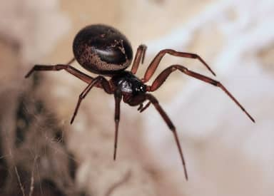 Massive Spiders Looking For Sex Don't 'Invade' Your House, They've Always Lived There