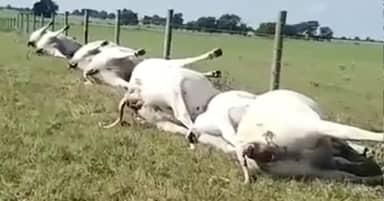 Cows Struck By Lightning All Die In A Straight Line