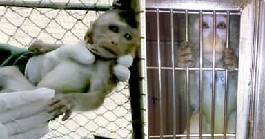 Baby Monkey Shakes With Fear As He's Taken From Parents To Be Used In British Lab
