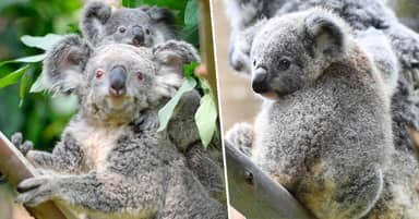 Koalas' Natural Habitat Destroyed By 1% After Australian Bushfires