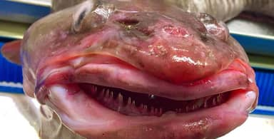 Russian Deep Sea Fisherman Finds Fish 'With Lip Fillers'