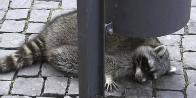 Raccoon Drunk On Mulled Wine Shot Dead After Passing Out Near Christmas Market