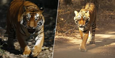 Tiger Walks 807 Miles In Search Of Sex