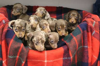 Nine Festive Daschund Puppies Named After Santa's Reindeer Looking For Forever Home