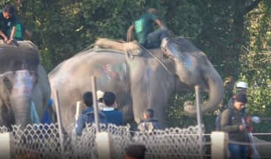 Elephants Beaten With Hooks And Chained Up At Nepalese Festival