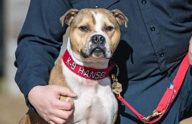 Rescue Dog Is First Pit Bull To Become An Arson-Detection K9 Officer