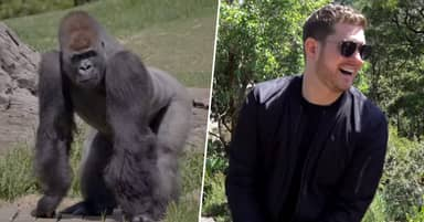 Australian Zoo Gorillas Obsessed With Michael Bublé's Christmas Album Treated To Private Concert