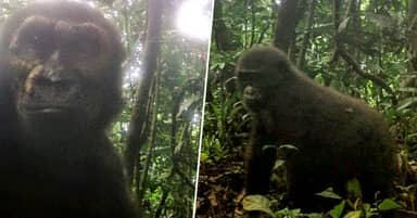 Endangered Baby Gorilla Pictured In Wild For First Time In 10 Years