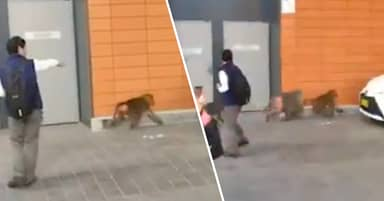 Baboon Escapes Vasectomy Op At Sydney Testing Lab And Flees With Two Female Monkeys