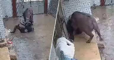 Buffalo Escapes Slaughterhouse In China And Gores Owner Three Times