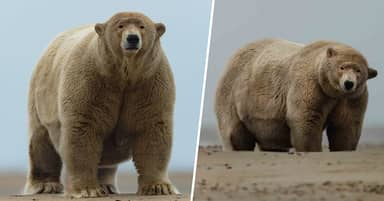 Polar Bear Who Is 10 Stone Overweight Christened 'Fat Albert' By Locals In Alaska
