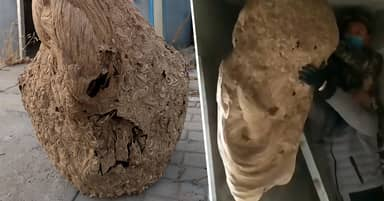 Massive Wasp Nest Discovered In New Home