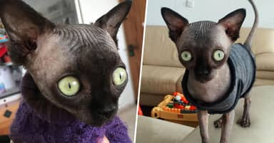 Sphynx Cat's Rare Condition Means She Looks Like A Baby Bat