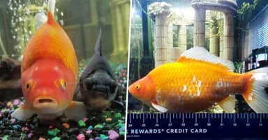 Pet Goldfish Grows To Nearly One Foot After Eating All Its Tank Mates