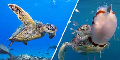 Plastic Bags May Smell Like Food To Hungry Sea Turtles, Study Finds