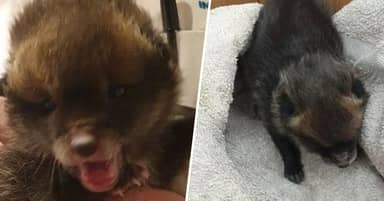 Builder Accidentally Brings Home Fox Cub He Thinks Is Abandoned Puppy