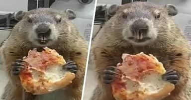 Groundhog Caught Casually Eating Pizza On Philadelphia Family's Back Porch