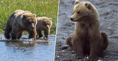 New 'Amazingly Cruel' Land Rules Will Let Alaskan Hunters Kill Bear Cubs In Dens