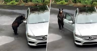 Friends Shocked To Find Bear Trying To 'Carjack' Their Mercedes