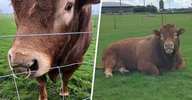 Scottish Bull's Bid To Scratch 'Itchy Bum' Knocks Out Power For 800 Homes