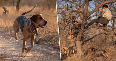 Dogs Trained To Protect Wildlife Save 45 Rhinos From Poachers