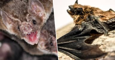 Vampire Bats Practise Social Distancing When They're Sick