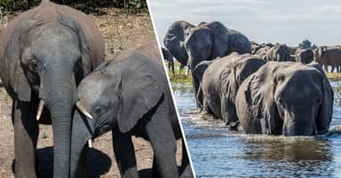 More Than 150 Elephants Have Died In Mysterious Circumstances In Botswana