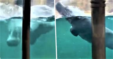 Playful Hippo Jumps Out The Water And Swims Like A Dolphin At Zoo