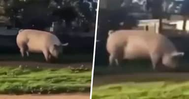 Huge Pig Named Johnny Seen Roaming Streets After Escaping Pen