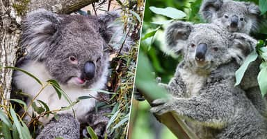Koalas Facing Extinction In New South Wales By 2050, Report Finds