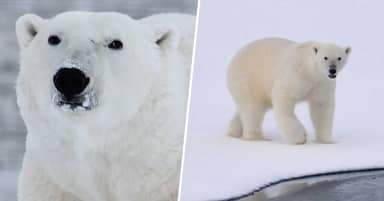 Polar Bears Could Be Extinct In 80 Years, Scientists Warn