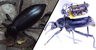 Beetle Mounted Cameras Give Scientists A Bugs-Eye View Of The World