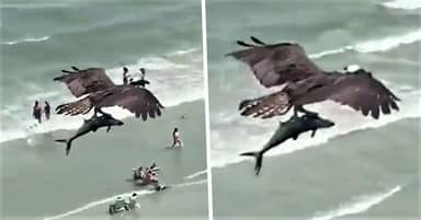 Real-Life Sharknado Moment As Massive Bird Spotted Carrying Big Fish In South Carolina