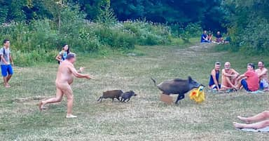 Wild Boar That Stole Naked Man's Laptop Could Be Shot
