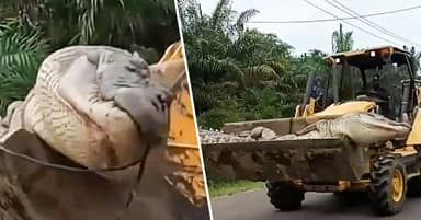 Half-Tonne 'Demon Crocodile' Captured And Beheaded By Locals In Indonesia