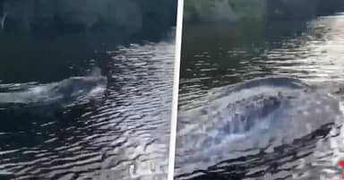 Man Captures Incredible Footage Of Crocodile Swimming Like Dolphin In Australia