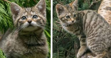Four Rare And Endangered Wildcat Kittens Born In Scotland