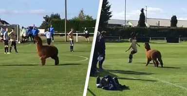 Alpaca Invades Football Match In Yorkshire And Stops Play For 15 Minutes