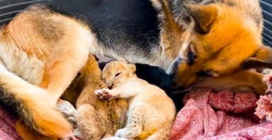 German Shepherd Steps In To Raise Two Lion Cubs After Their Mother Rejected Them