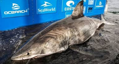 3,500lb Great White Shark Named Nukumi Pulled From Ocean