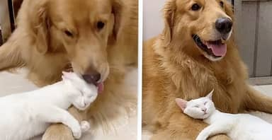 Golden Retriever Grooms His Best Friend Cat Which Returns Love With A Hug
