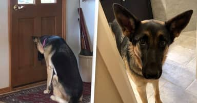 Loyal Dog Waits By The Door For Her Dad To Get Back From The Hospital