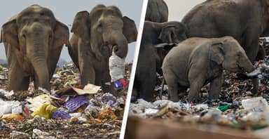 Hungry Sri Lankan Elephants Eat Garbage In Heartbreaking Photos