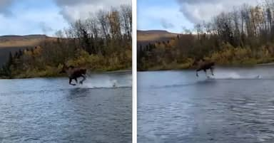 'Jesus Moose' Captured Running Across Alaskan River