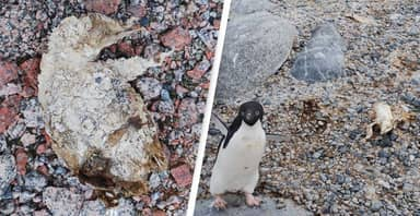 Penguin Mummies Discovered At Abandoned Antarctic Nesting Site