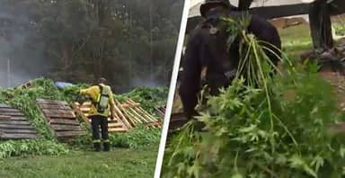 Police Seize $40 Million Worth Of Cannabis Plants In One Of Australia's Biggest Ever Drug Busts