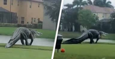 Enormous Alligator Spotted On Florida Golf Course