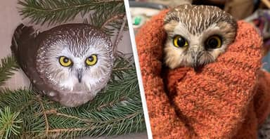 Baby Owl Rescued From Rockefeller Christmas Tree After Travelling Almost 200 Miles