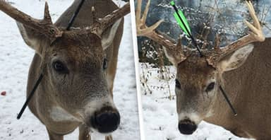 Deer That Visits Town Every Christmas Returns With An Arrow Through Its Head